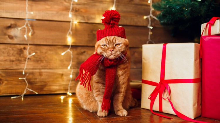 Red british cat in knitted hat and scarf sitting under Christmas tree and present boxes. Concept of the New Year and Christmas cat in costumes parade christmas guide