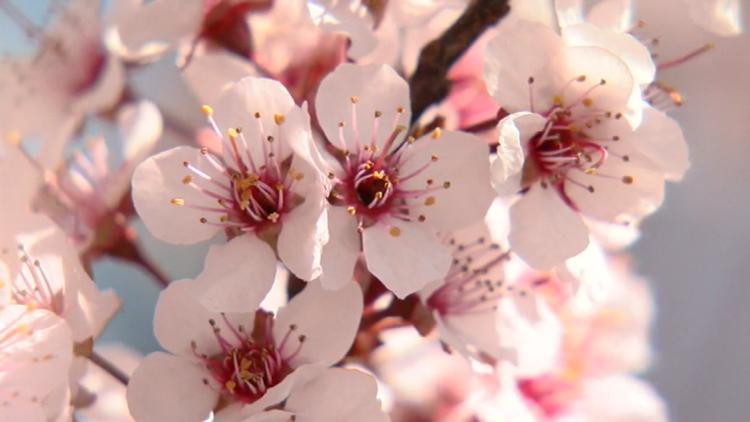 Cherry blossoms hit peak bloom this week at the Missouri Botanical Garden
