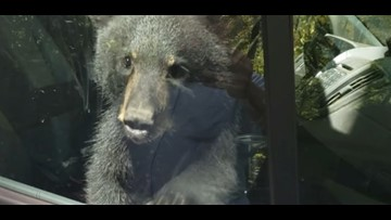 Bear cubs lock themselves in a Gatlinburg van, then honk until a human let them out
