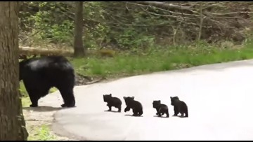 Momma bear and 4 tiny cubs adorably cross the road