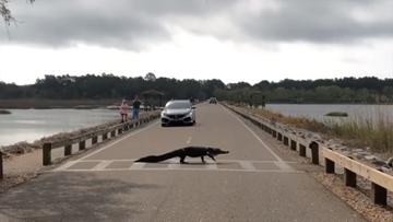 Alligator uses crosswalk at SC state park
