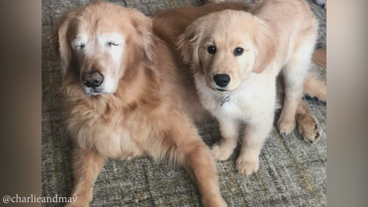 Blind golden retriever gets by with a little help from his friend