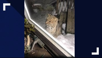 Curious bobcat visits couple's home in Maine
