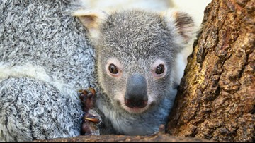 Koala born in Florida zoo becomes symbol for hope for ... on