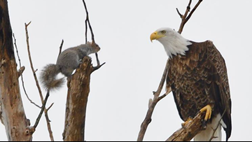 Squirrel and eagle play cat and mouse in Maine