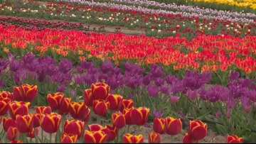 Check out this new tulip farm in Texas and the beautiful purpose behind it