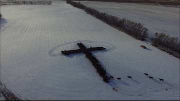 Holy cows, indeed: Cattle form shape of cross on Christmas Day