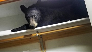 Bear enters home, settles in for nap in closet