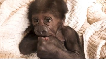 VIDEO: Endangered western lowland gorilla born at Jacksonville Zoo