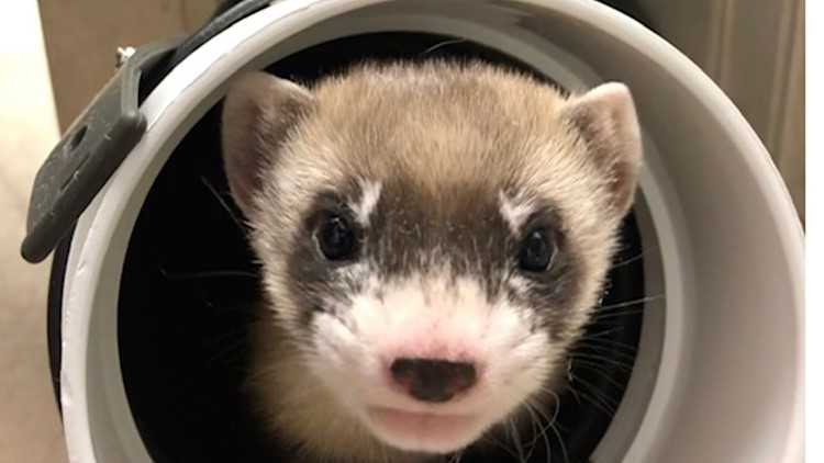 Endangered black-footed ferret is first US native animal to be cloned, advancing conservation efforts