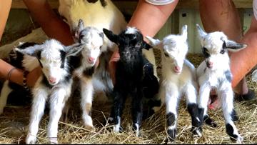 Rare quintuplet baby goats born in North Carolina