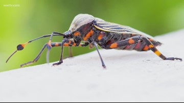 'Kissing Bug' disease detected in Louisiana: What you need to know