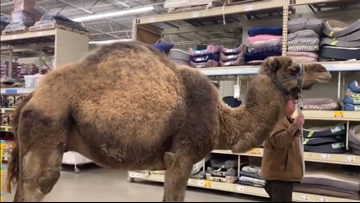 'All leashed pets are welcome'   Man brings camel to PetSmart